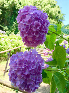 花,雨,緑,紫,葉,景色,紫陽花,梅雨
