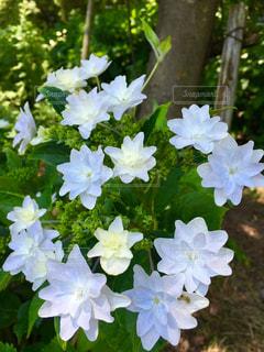 花,雨,屋外,緑,白,葉,景色,鮮やか,紫陽花,梅雨