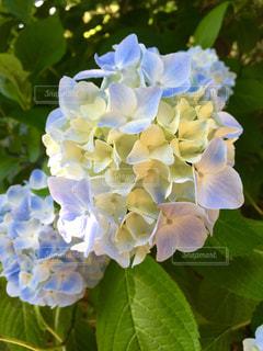 花,雨,屋外,緑,白,葉,景色,鮮やか,紫陽花,梅雨,青い