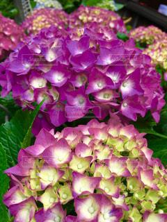 花,雨,屋外,紫,鮮やか,紫陽花,梅雨,草木