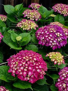 花,雨,屋外,ピンク,緑,紫,鮮やか,紫陽花,梅雨,草木
