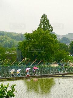 自然,雨,傘,屋外,子供,樹木,田んぼ,梅雨,列