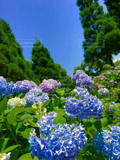 紫陽花と空の写真・画像素材[1245345]