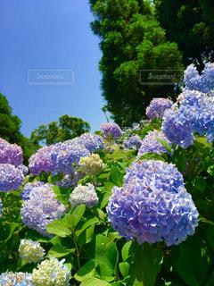 花,屋外,緑,紫,景色,樹木,紫陽花,梅雨,草木,ガーデン