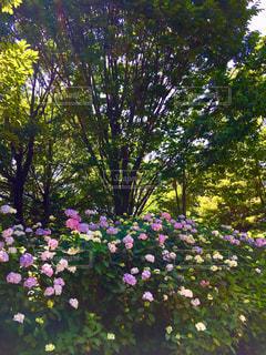 花,屋外,景色,樹木,紫陽花,梅雨,草木,ガーデン