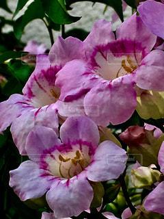 花,ピンク,鮮やか,ピンク色,複数,ノウゼンカズラ