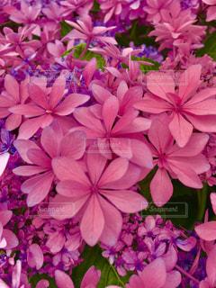 花,屋外,ピンク,鮮やか,紫陽花,明るい,ピンク色,複数
