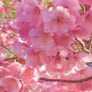 花,桜,屋外,ピンク,鮮やか,明るい,ピンク色,複数,八重