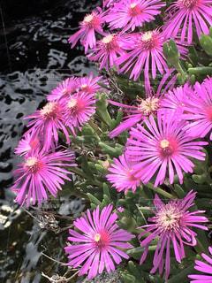 花,ピンク,緑,カラフル,水,水路,鮮やか,多肉植物,草木,複数,マツバギク
