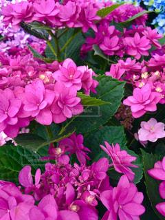 花,ピンク,緑,カラフル,葉,景色,鮮やか,紫陽花,ピンク色,草木,複数