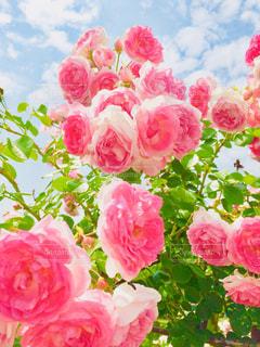 空,花,ピンク,緑,カラフル,青,バラ,葉,景色,鮮やか,ブルー,ピンク色,草木,複数