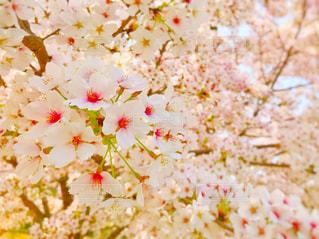 桜,屋外,ピンク,鮮やか,明るい,ピンク色,複数,4月
