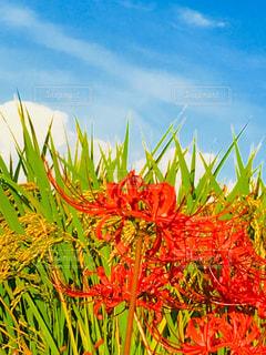 空,花,赤,彼岸花,稲,野外,秋空