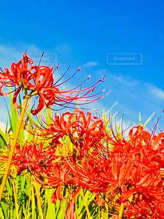 青い空と赤の彼岸花に金色の稲穂の写真・画像素材[1475459]