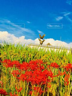 空,花,赤,彼岸花,稲,蝶々,野外,秋空,アゲハ