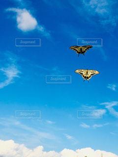 仲良しアゲハ蝶の写真・画像素材[1475551]