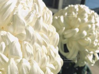 花,白,景色,花びら,草木,複数,菊
