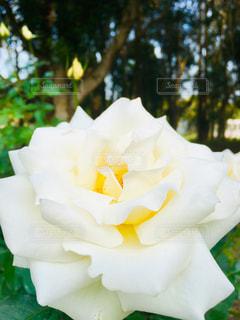 公園,花,バラ,薔薇,クリーム,樹木,広場