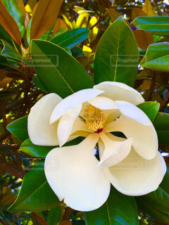 木蓮の花の写真・画像素材[1660216]