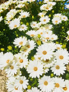 花,白,マーガレット,黄色,新鮮,ホワイト,草木,複数