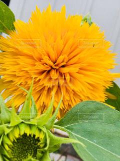 花,植物,ひまわり,黄色,葉,つぼみ,イエロー