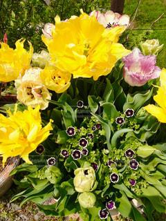 花,植物,黄色,葉,チューリップ,複数,寄せ鉢