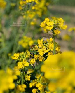 花,黄色,菜の花,ミツバチ,鉢,油菜