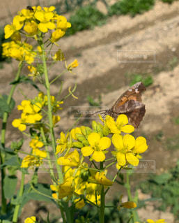 花,黄色,菜の花,蝶々,畑,鉢,油菜