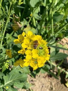花,黄色,菜の花,虫,畑,ミツバチ,鉢,油菜