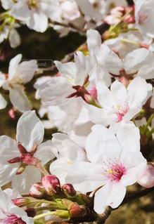 花,春,桜,ピンク,花見,満開,野外