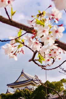 空,花,春,桜,ピンク,城,花見,満開,野外