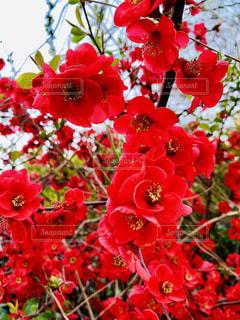 ボケの花の写真・画像素材[1935468]
