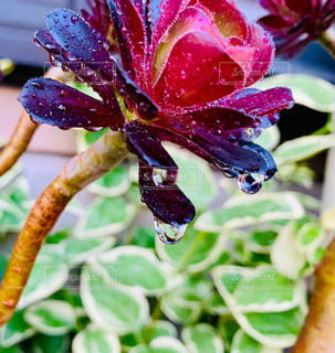 植物,水,野外,多肉植物,しずく,水やり