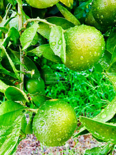 食べ物,雨,植物,水滴,食品,みかん,野外,カラー,しずく