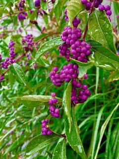雨,植物,水,紫,水滴,実,野外,しずく,ムラサキシキブ,複数,細かい