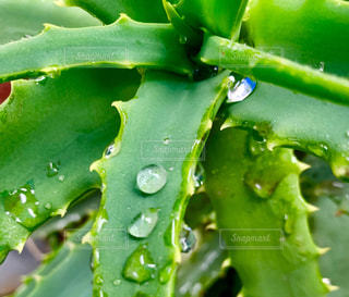 雨,屋外,緑,水,トゲ,野外,多肉植物,雨粒,アロエ
