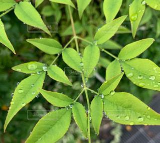 雨,緑,水,水滴,葉,ハート,野外,南天,雨粒
