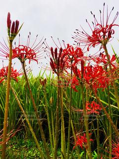 花,雨,赤,彼岸花,稲,曼珠沙華,野外,雨粒