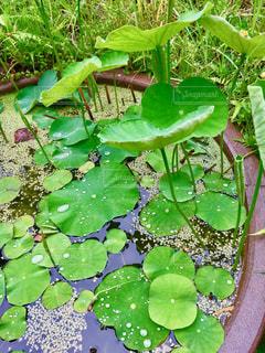 雨,雨粒,浮き草,かめ,睡蓮の葉