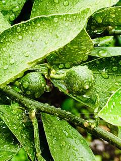 雨,葉,果物,実,みかん,梅雨,未熟