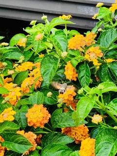 花,雨,葉,オレンジ,蜂,梅雨,ランタナ,蜜