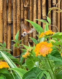 花,雨,植物,葉,蜂,梅雨,ランタナ,すだれ