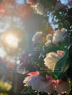 空,花,太陽,反射,光,眩しい,野外,さざんか