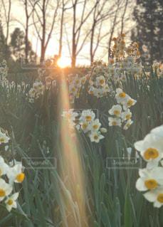 空,公園,花,木,太陽,綺麗,光,満開,樹木,眩しい,水仙,野外,草木,匂い