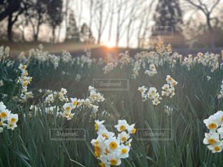風景,空,公園,花,屋外,太陽,鮮やか,光,満開,樹木,いっぱい,水仙,複数