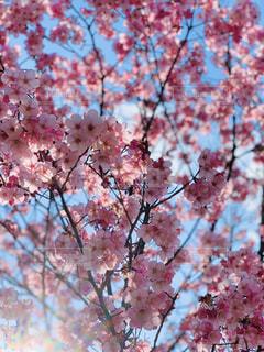 空,花,春,ピンク,太陽,綺麗,光,満開,樹木,草木,桜の花,さくら,見事