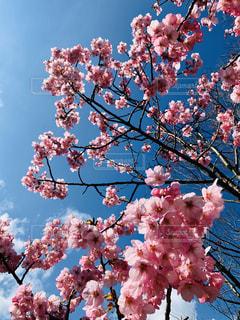 風景,空,花,春,ピンク,青,鮮やか,満開,樹木,カラー,草木,桜の花,さくら,見事
