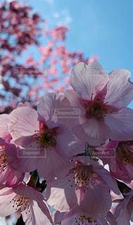 空,花,春,桜,屋外,ピンク,花びら,草木,早咲き