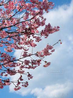 空,花,春,屋外,ピンク,白,雲,満開,樹木,草木,さくら,濃い色