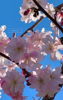 空,花,春,ピンク,青い空,景色,満開,たくさん,草木,桜の花,開花
